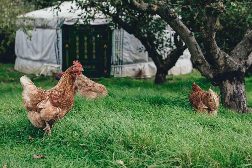 Stallpflicht für Geflügel wegen der Vogelgrippe