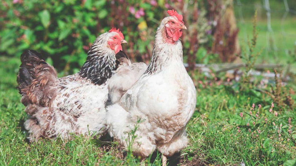 Zwei Hühner auf einer Wiese